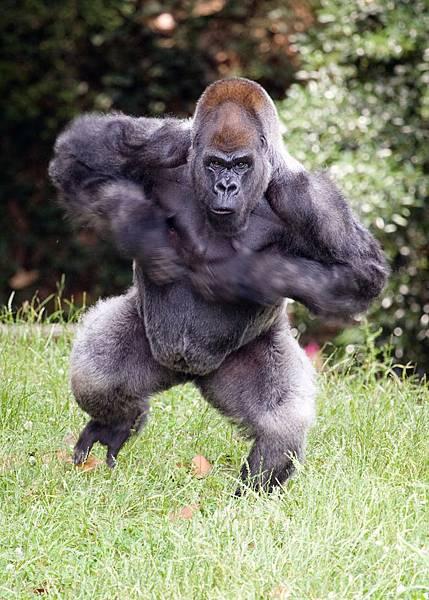 gorilla_ozzie_chestbeating_ZA_0008.jpg