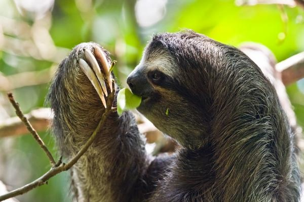 what_do_sloths_eat_171_600.jpg