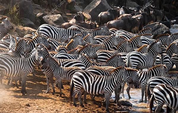 depositphotos_96922352-stock-photo-zebras-herd-in-its-habitat.jpg