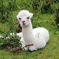 alpaca-1531980_1280.jpg