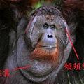 bornean-orangutan-redish-brown-males-820x531.jpg