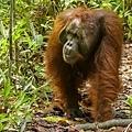 682px-Bornean_orangutan_(Pongo_pygmaeus),_Tanjung_Putting_National_Park_07.jpg