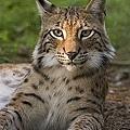 250px-Lynx_lynx_poing.jpg