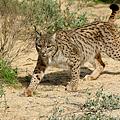Lynx_pardinus.png