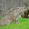 1024px-Bobcat2.jpg