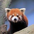 red-panda-ailurus-fulgens-fulgens-14707713.jpg