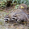 __opt__aboutcom__coeus__resources__content_migration__mnn__images__2014__07__raccoons-in-pond-f0965689040c4ed49afb03b1211a31bc.jpg