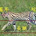 serval-leptailurus-serval-walking-panoramic-images.jpg