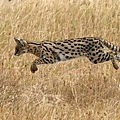 serval-cats-ecology-and-hunting-21380100.jpg
