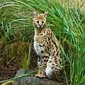 serval_624.jpg