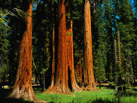 01Redwoods%20in%20Sequoia%20National%20Park.jpg