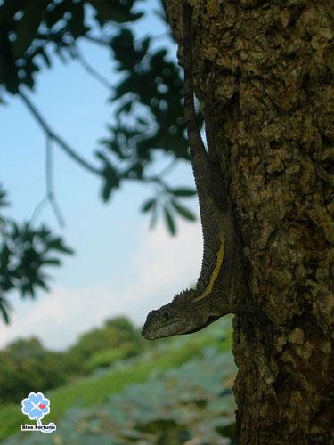 早起的攀木蜥蜴先生