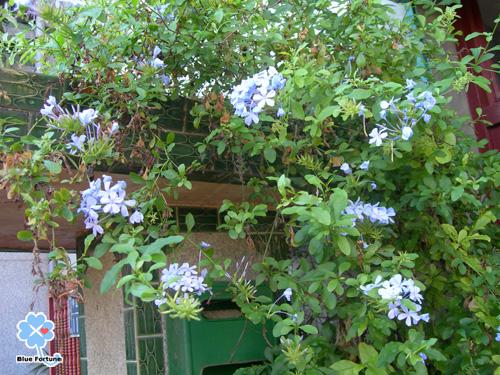 某家門邊美麗的花