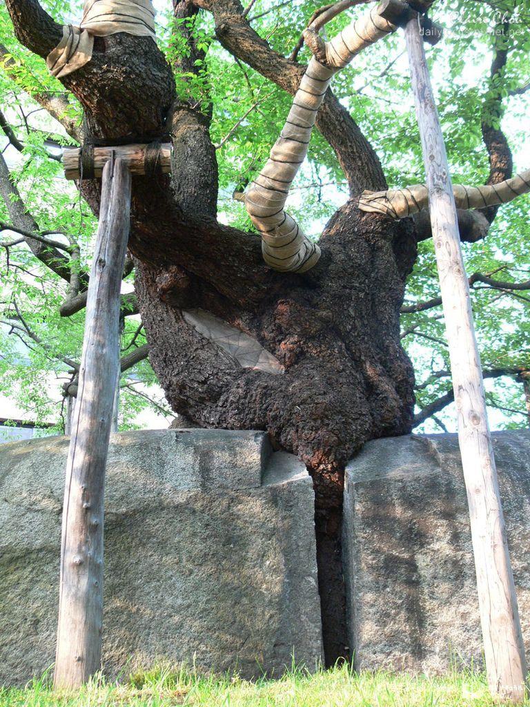 石割桜3.jpg