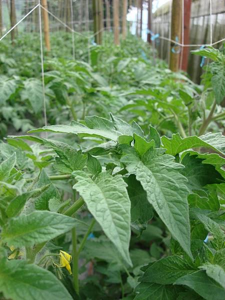 玉山東埔-牛蕃茄溫室