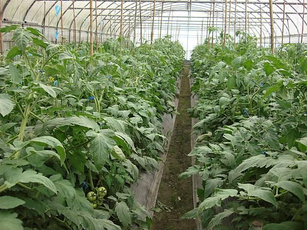 玉山東埔-牛蕃茄溫室之2