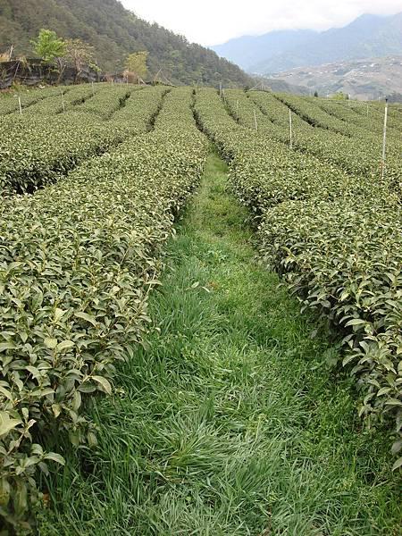 茶草共生2