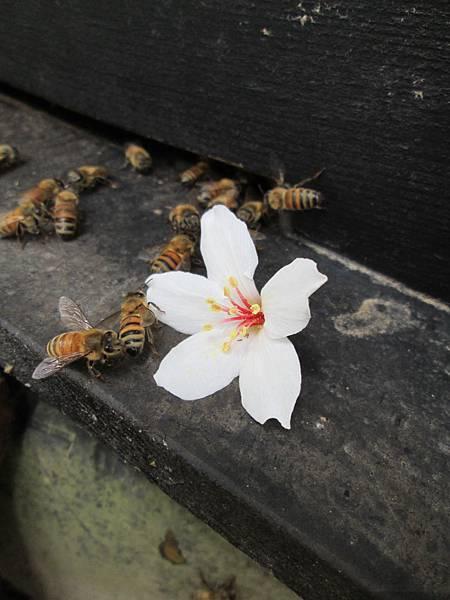 蜂與油桐1