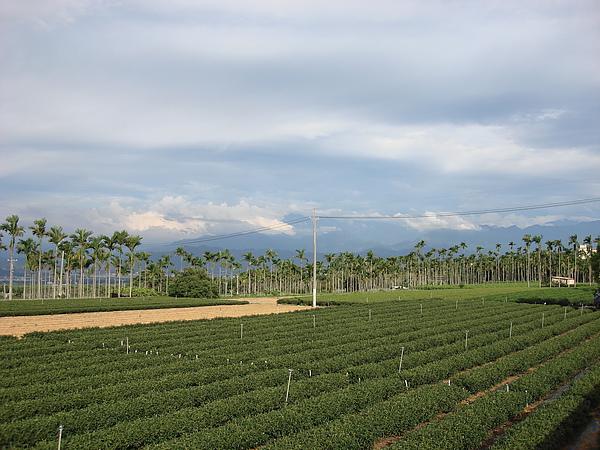 東向坡茶園 C.jpg
