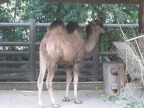 [3Y0M17D]他是雙峰駱駝寶寶煙雨,他媽媽不太理他所以他是動物褓姆養大的,據說很黏人 XD