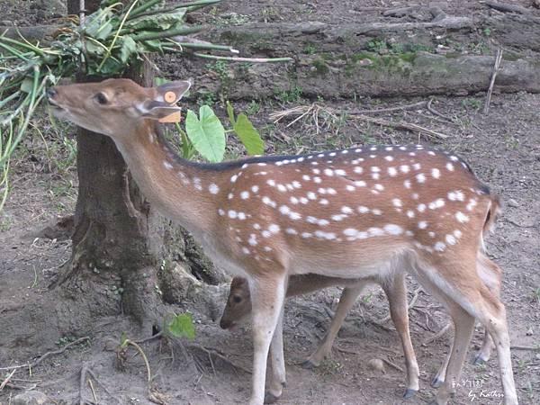 [3Y0M17D]跟在媽媽旁邊吃樹葉