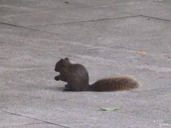 [3Y0M17D]來偷吃東西的小松鼠