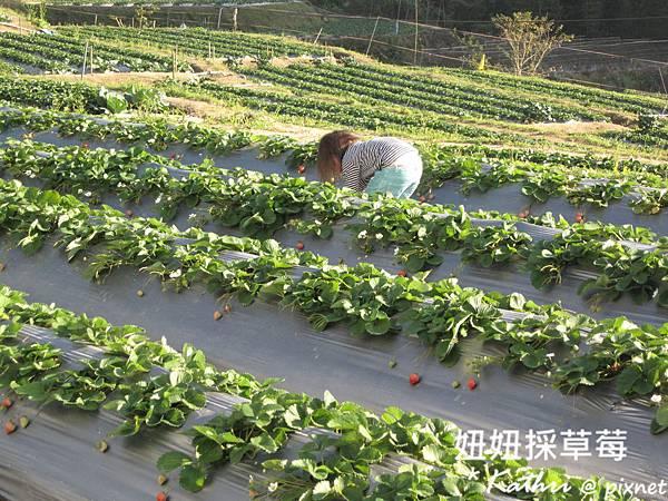 [3Y3M24D]一期花的草莓被採得差不多了