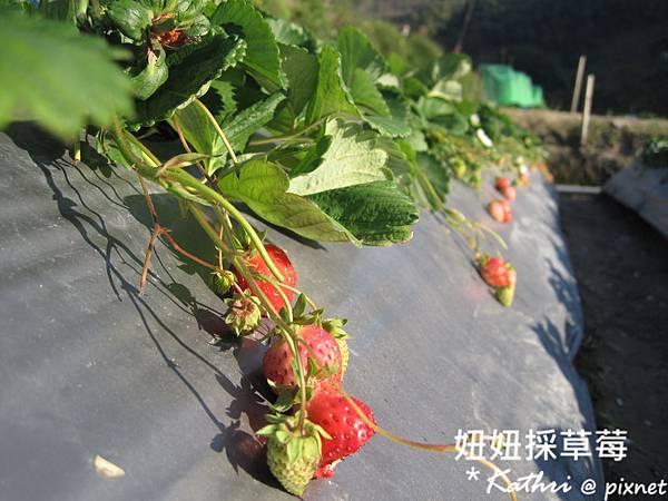 [3Y3M24D]尚未紅透的草莓(被店狗咬了一口?!)