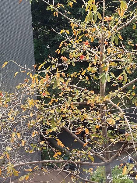 分寨的木棉樹