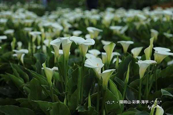 〈彩景海芋田〉.jpg
