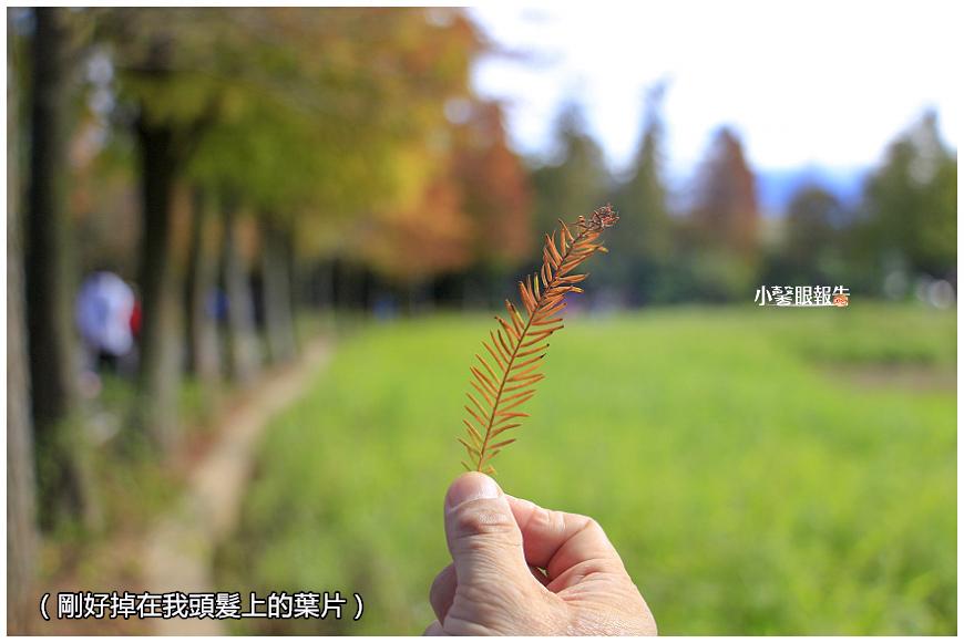 落羽松 (27).jpeg
