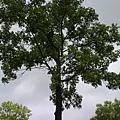 慢慢成長的樹 2007.7.15