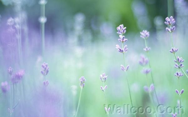 Soft_focus_sweet_flowers_JK030_350A.jpg
