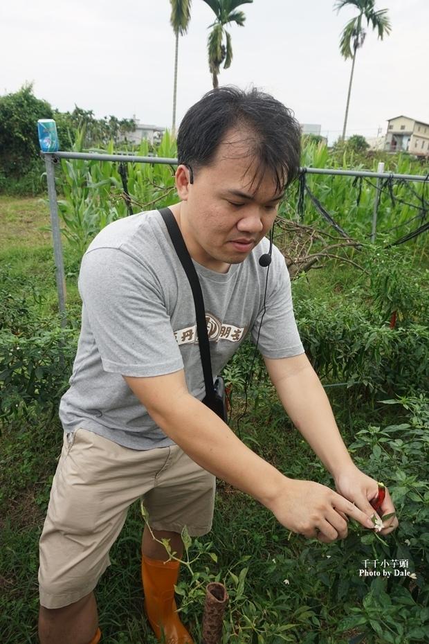 春強農場陳家檸檬園採辣椒8.JPG