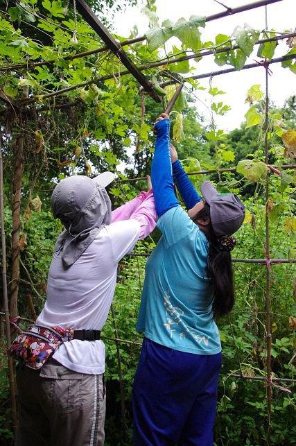 野蔓園:樸門農法的菜園,換工的三餐得努力在雜草中找到成熟的蔬果