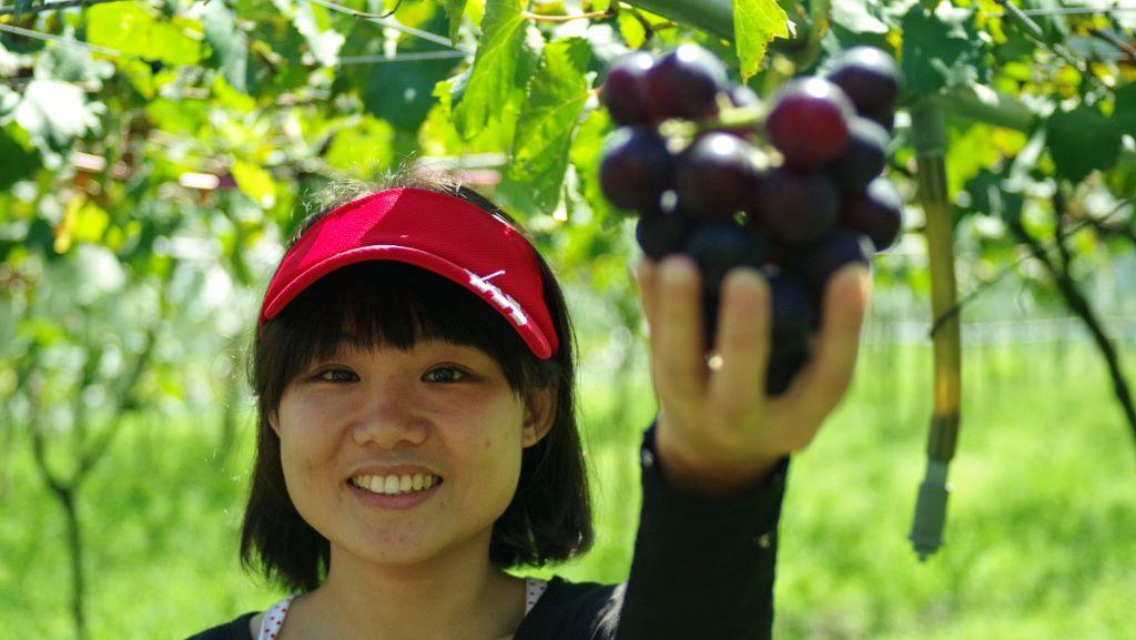 老五民宿:與住宿的客人一起趕上葡萄成熟時,體驗農民採收的辛勞