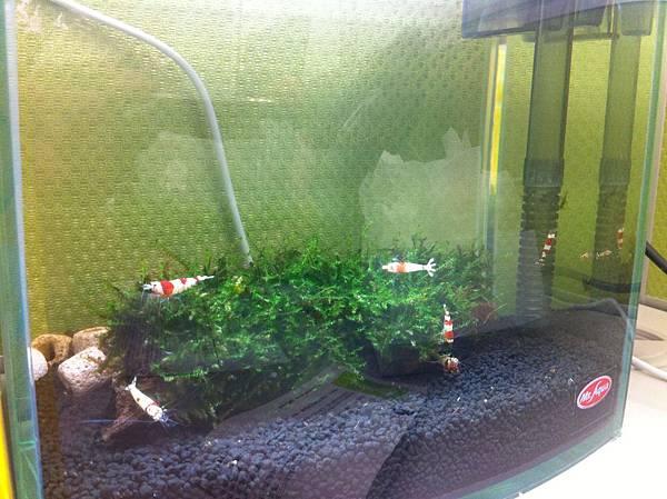 小小水晶蝦缸