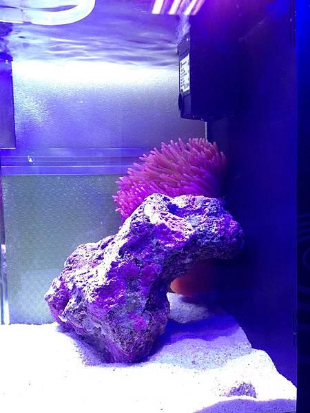 紅肚海葵2