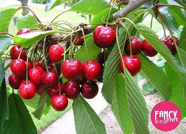 販奇網 Rose美國玫瑰紅櫻桃 (4)