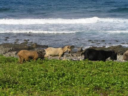 悠閒的山羊群