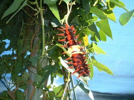 珠光鳳蝶的幼蟲