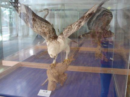 熊鷹展翅標本