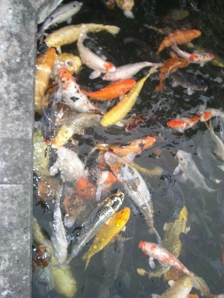 光復糖廠的魚.JPG