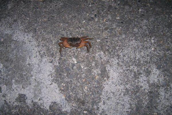 夜遊遇到的椰子蟹~~