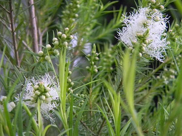 澳洲茶樹開花