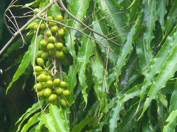 印度塔樹的未熟果