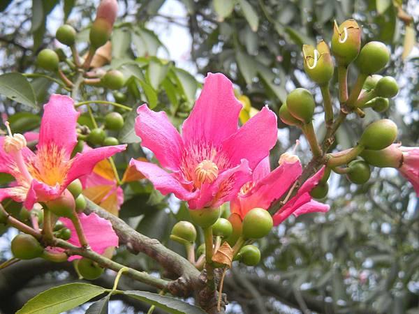 美人樹的花