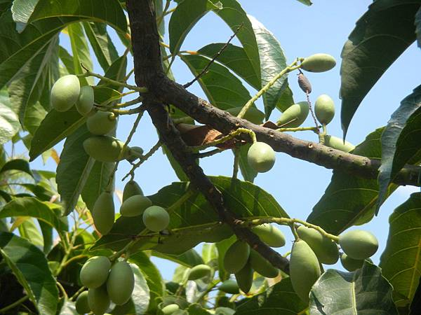 錫蘭橄欖未熟果