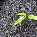 砂礫上長了許多小樹苗