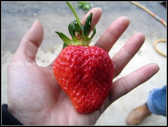 草莓好大顆!